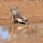 Water For Cattle